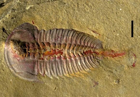 新たに発見された化石から三葉虫...