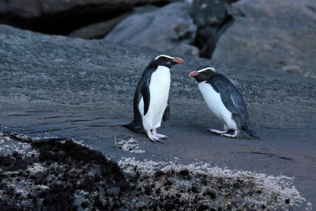 シュレーターペンギン(マユダチペンギン)