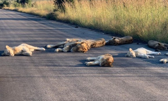 封鎖中の国立公園でライオンの群れが道路の覇者に。グテンと寝そべりのんびり昼寝(南アフリカ)