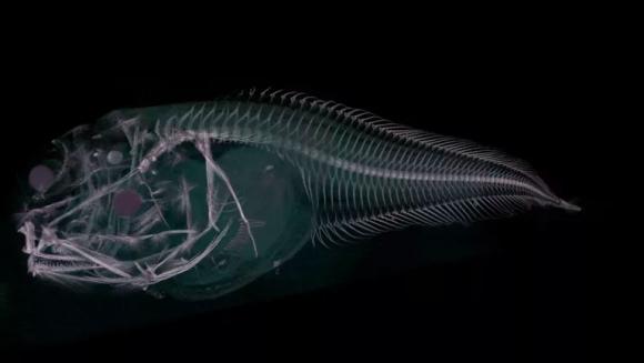 深海で新種発見。3種の半透明の魚(アタカマ海溝)