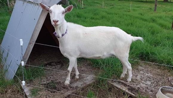 牛の心を慰めてくれた親友のヤギが何者かに盗まれる。牛、再び落ち込むも警察の捜査で無事発見、感動の再会