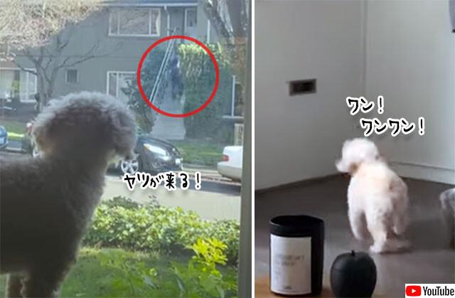 郵便配達員に敵対する犬の行動
