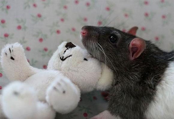 rats-with-teddy-bears-2_e