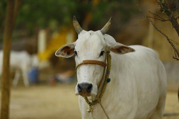 indian-cow_pixabay
