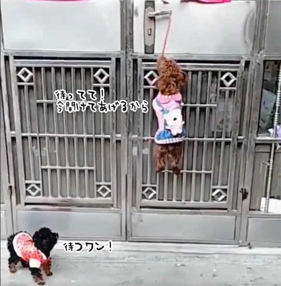 パーフェクト!賢い犬の連携プレイでドアを開けて中に入ってドアをまた閉めるまで