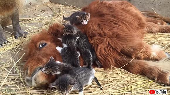 5匹の子猫に愛されるポニーとそれを見守るカピバラ