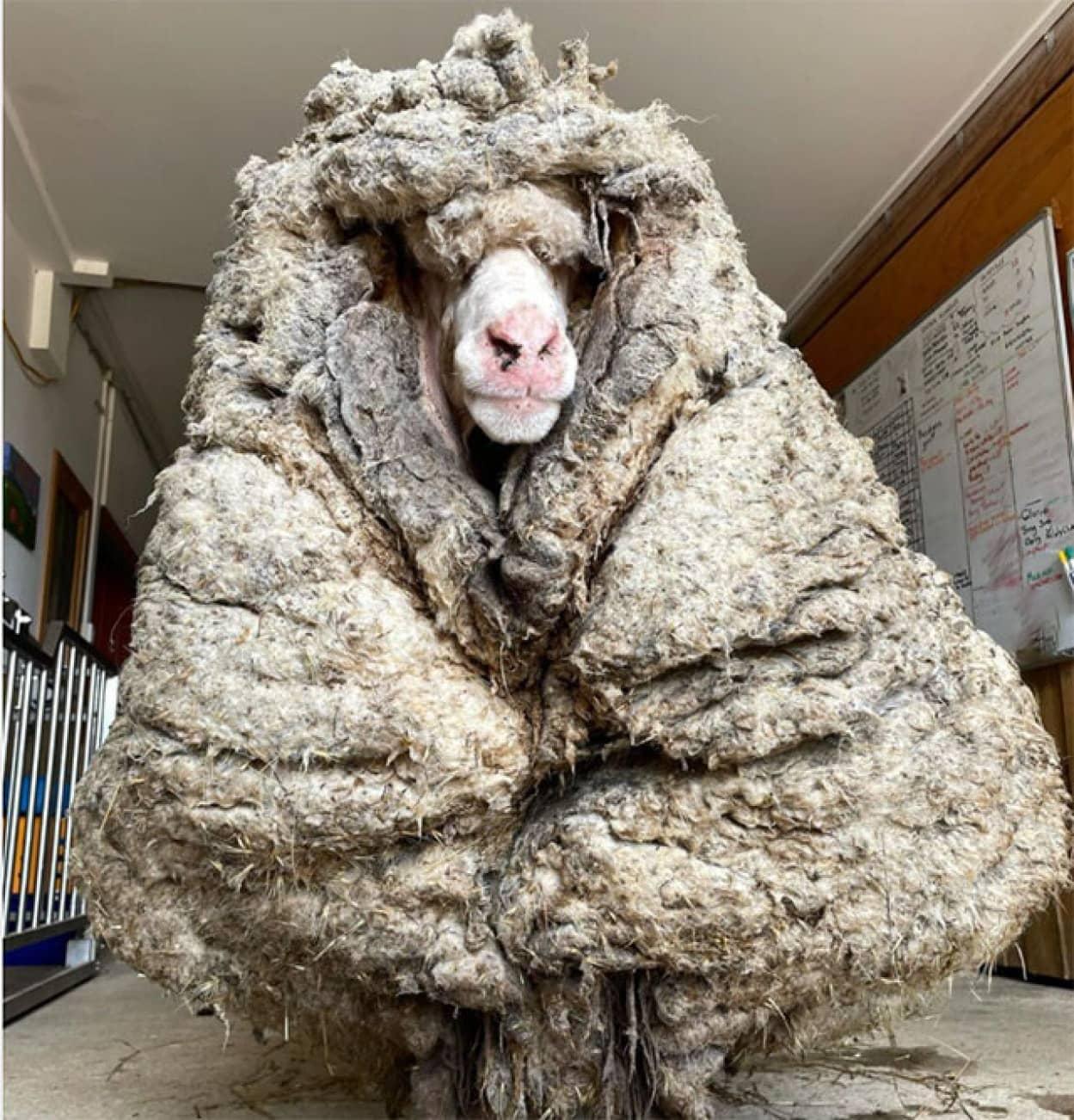 迷い羊が巨大毛玉化。毛刈りをされてすっきりスリムに