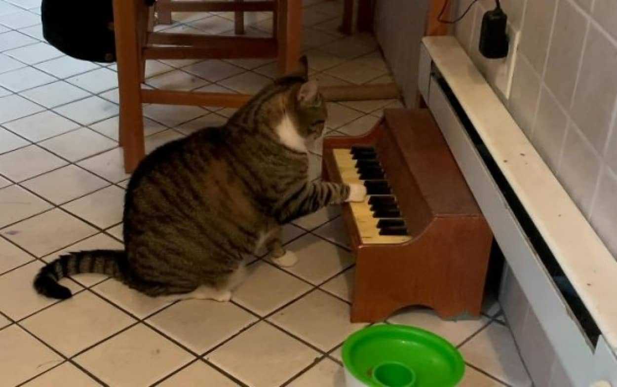 ピアノで空腹を知らせる猫