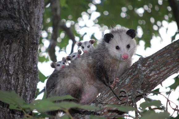 opossum_pixabay