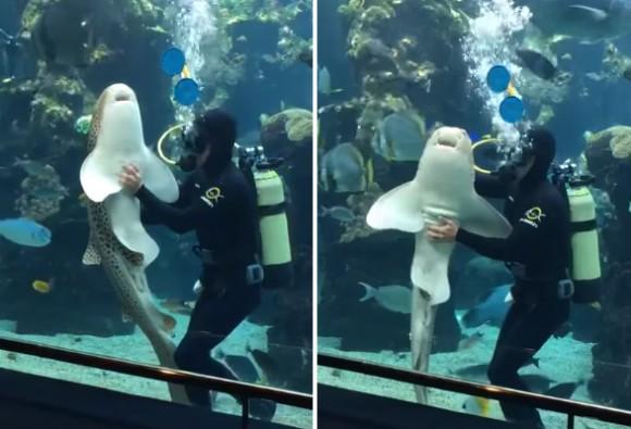 トラフザメだって甘えたい。水槽のガラスを掃除していたダイバーにモフを要求し、撫でられて幸せそうなトラフザメ