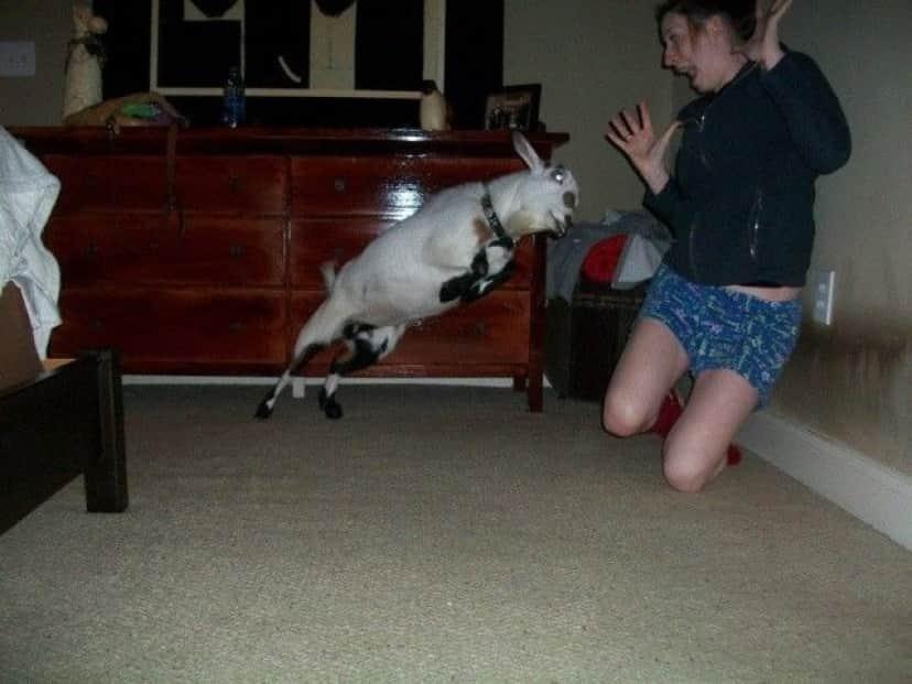 Funny-Goat-40_e