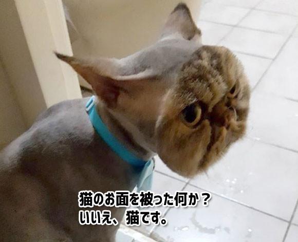 まるで猫のお面をかぶっているようだ!ヘアカットで大惨事。猫が猫に化けている風情になっちまった。