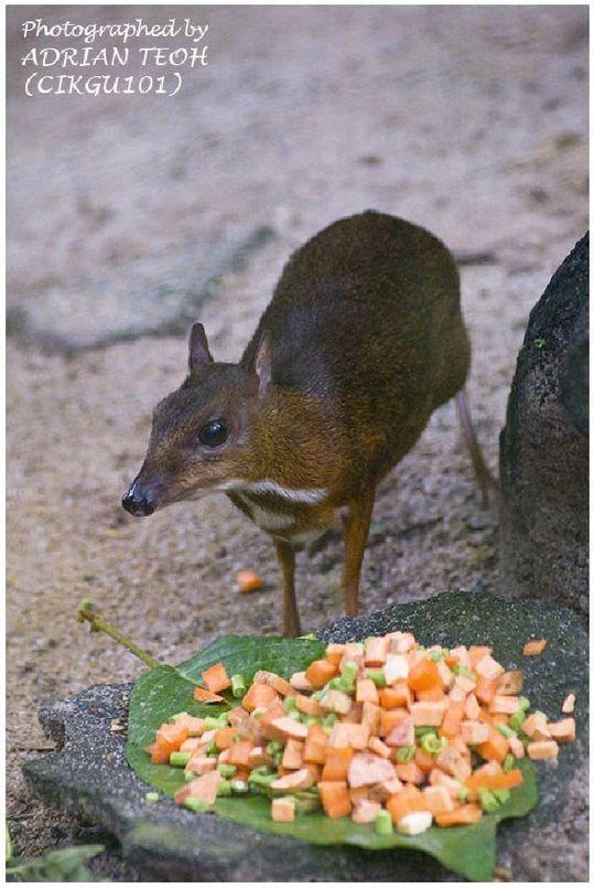 mouse_deer_08