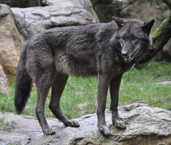 wolf_05