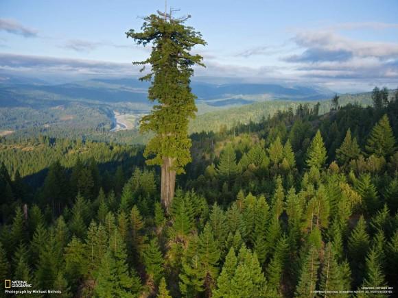 天空に一番近い樹木。高さ115.55メートル。世界一高いセコイア「ハイペリオン」