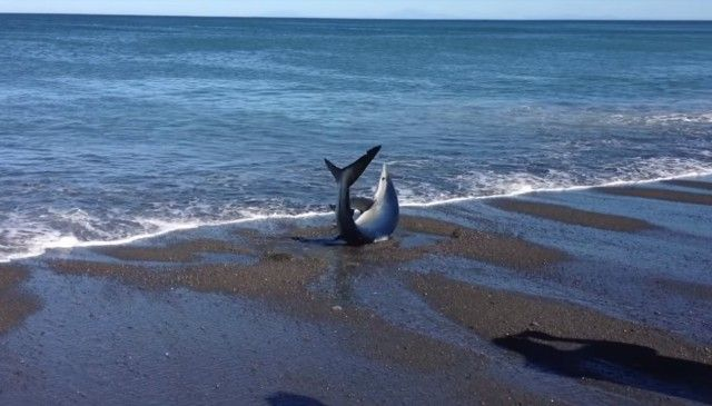 「さあ行きな、もうこんなところに近づくなよ!」と、砂浜に打ち上げられたサメを助ける男性