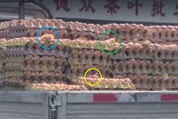 マジなのネタなの?暑すぎてトラックに積んでおいた卵が孵化した件(中国)