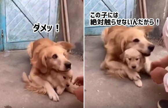 この子はダメ!絶対ダメ!子犬を絶対に触らせてくれない母犬の母性