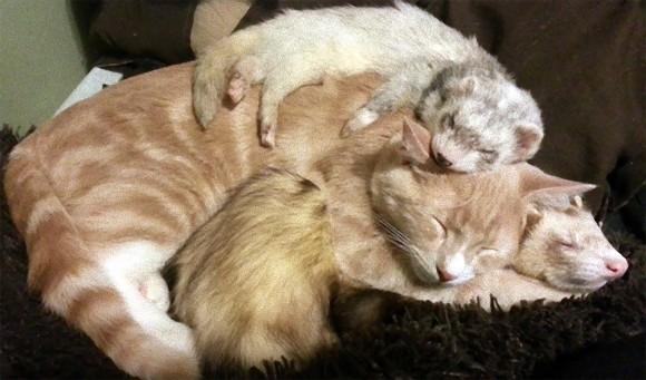フェレットを多頭飼いしている飼い主が路上でさまよっている子猫を招き入れた。フェレットと猫のミルフィーユが出来上がった。