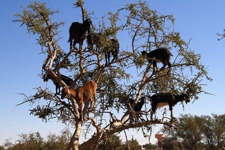 tree_goats3