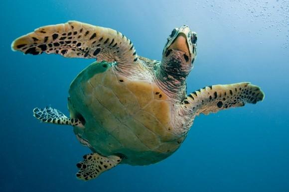 気象変動の影響か?オーストラリアではアオウミガメの99%がメスになるという事態が発生
