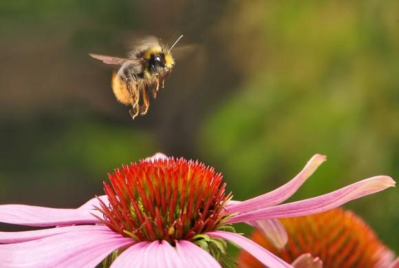昆虫とあなどることなかれ!感情があり、道具をも使いこなす高度な知能を持つマルハナバチ(英研究)