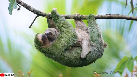 ナマケモノのお母さん、精一杯の愛情で我が子を運ぶ(コスタリカ)