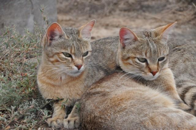 ヤマネコがいつ、どのように人間の飼い猫になったのか?飼い猫のルーツを探る研究(ポーランド)