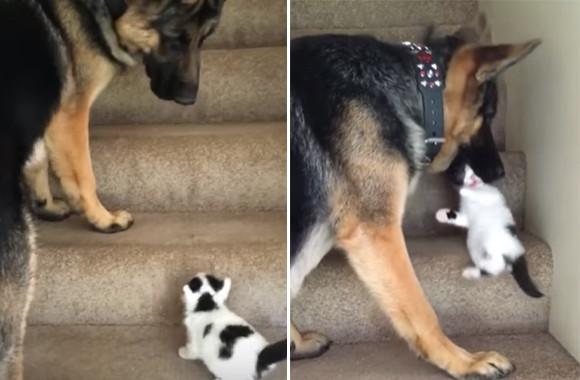 子猫をいたわるジャーマンシェパード。まだ階段をうまく登れない子猫をやさしく口でくわえて運ぶ