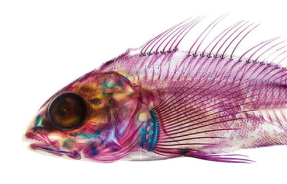 体を透明化させ、骨格の繊細さを際立たせた「透明標本」の素晴らしい作品