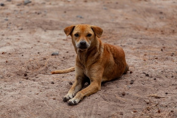 stray-dog-on-beach-4508243_640_e