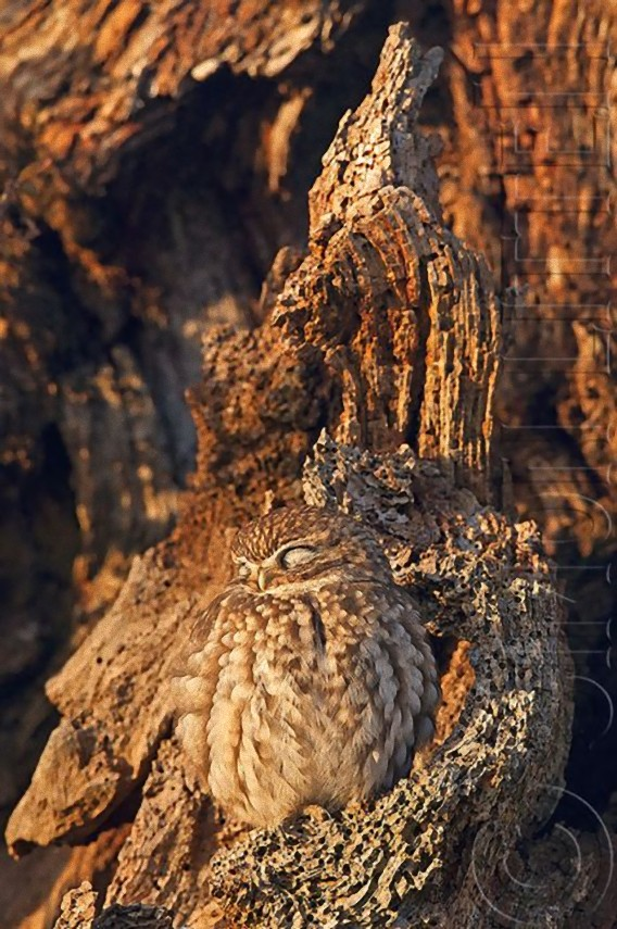 camouflaged_owls_12_e