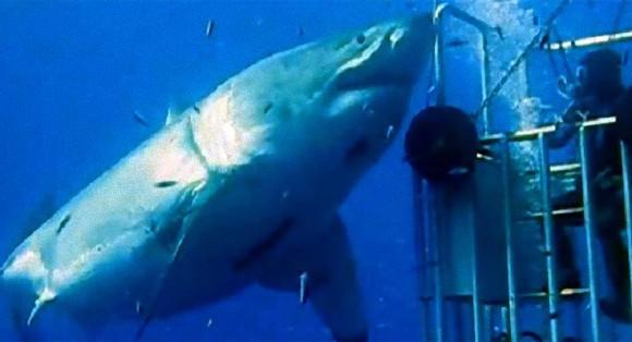 海中の巨大ホホジロザメ・ディープブルー