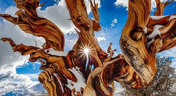地球に埋め込まれた自然の神像。樹齢4800年、世界最古の樹木「メトシェラ」