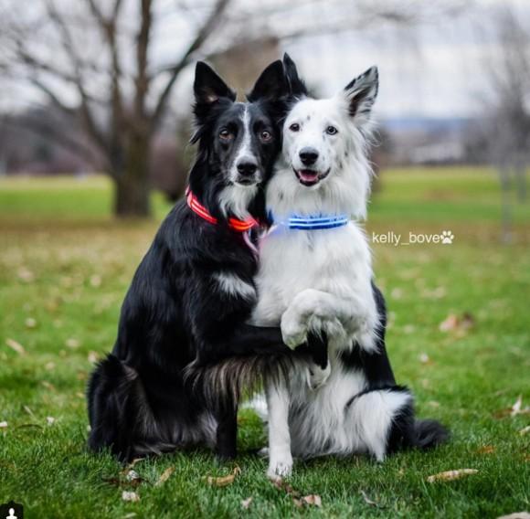 とにかく仲良し!カメラを向けると自発的にギュっとよりそう2匹のコリー犬