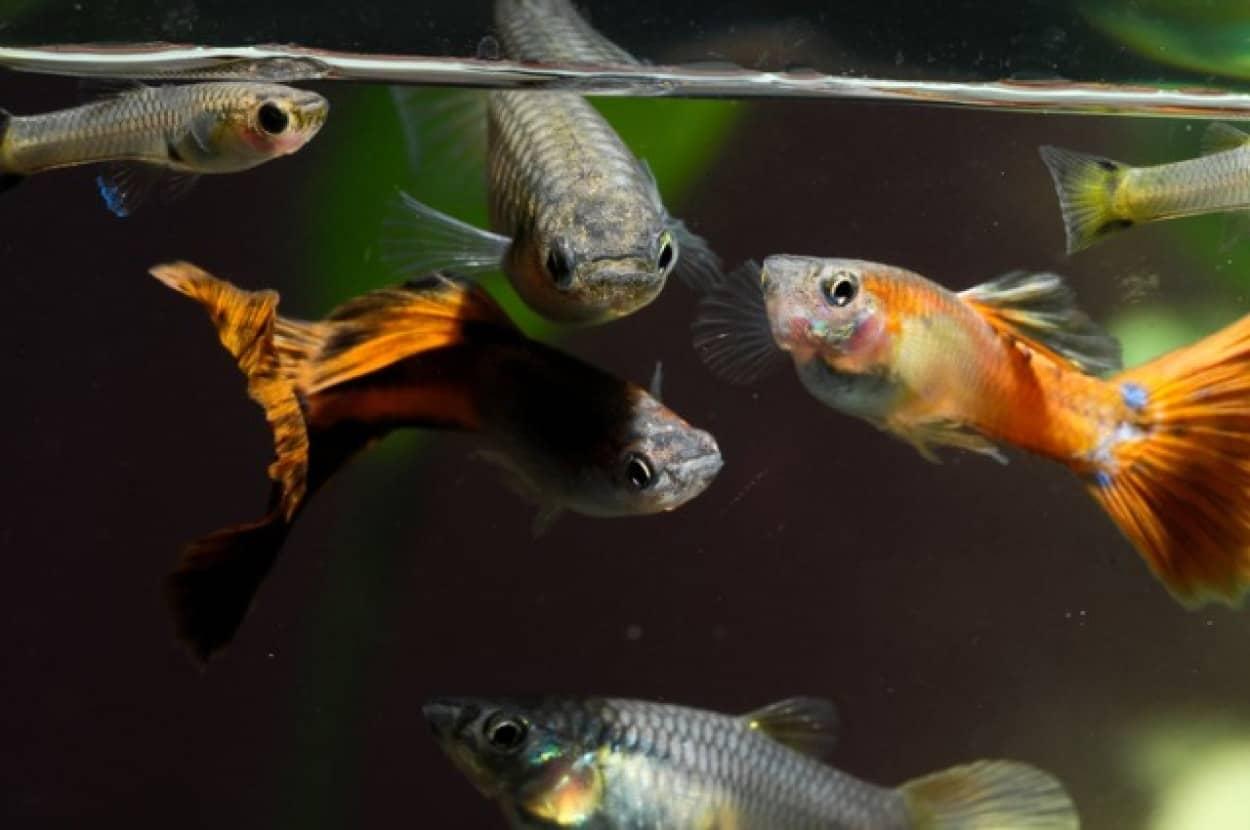 海に流れ込んだ抗うつ剤が魚をゾンビ化させるという研究結果