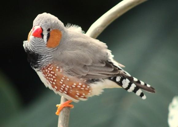鳥の脳に記憶を植え付けて新しい歌を覚えさせることに成功。人間への応用にも期待(米研究)