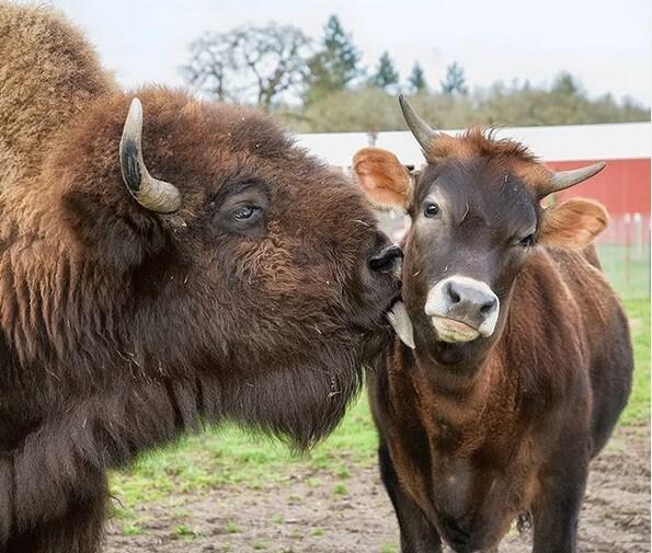 盲目の孤独なバイソン、子牛と出会ったおかげで親友の絆を育み自信を芽生えさせる(アメリカ)