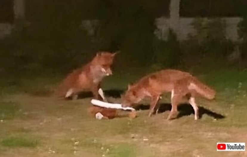 foxessneak3_640
