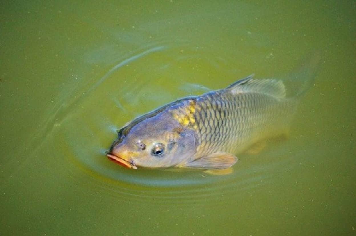 アジア鯉(アジアゴイ)の名前が人種差別的だとして名称の変更を検討するミネソタ州