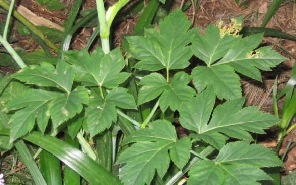 日本原産の植物、アシタバに老化防止成分が含まれていることが判明(オーストラリア研究)