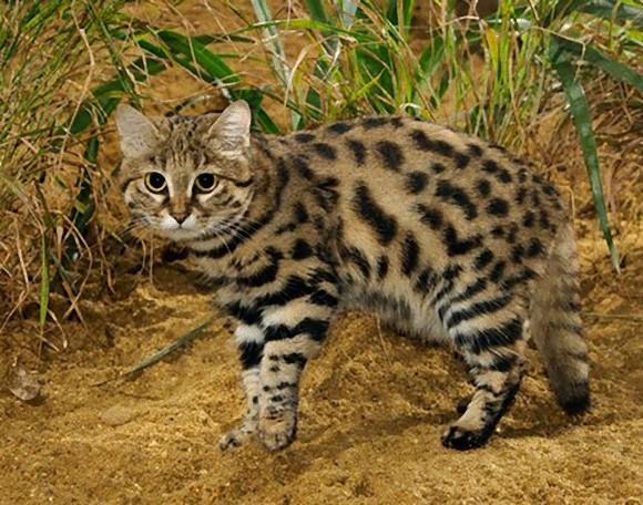 ネコの多様性を堪能しよう。魅力に溢れる10種のネコ科動物