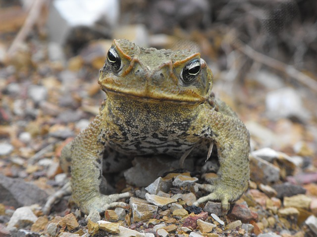 cane-toad-162752_640