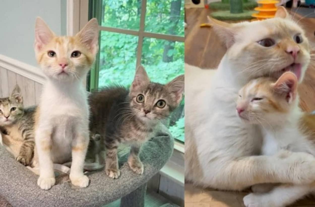 3匹の子猫を子育てする2匹の代理母