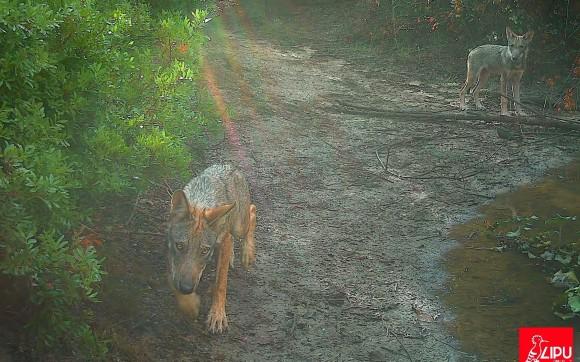 1世紀の時を経てローマにオオカミが戻ってきた。監視カメラでオオカミの家族の姿が確認される(イタリア)