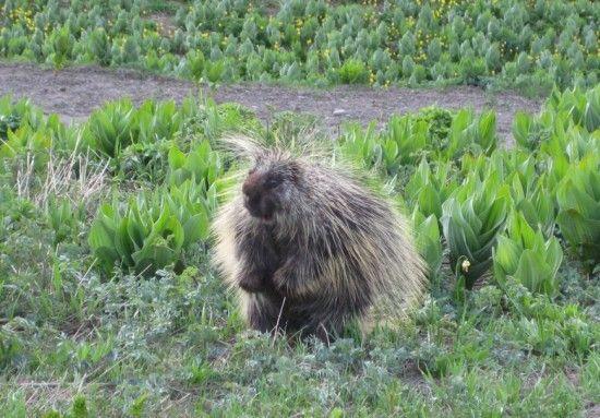 field-porcupine-550x383