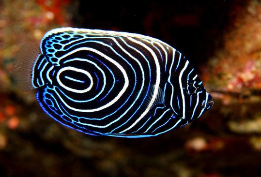 Juvenile-Emporer-Angel-Fish1