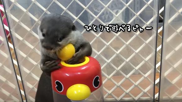 カワウソの「か」はかしこいの「か」。知育玩具で一人遊びするカワウソ