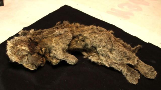 永久凍土から完璧な状態で発見されたホラアナライオンの子供のミイラからわかったこと(シベリア)