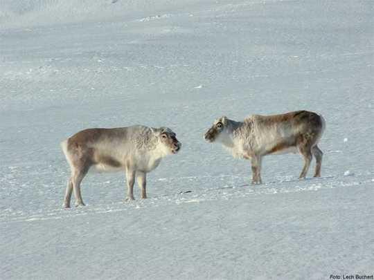 Deer-Rangifer-
